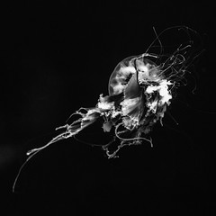 Man O' War No. 4 (Mabry Campbell) Tags: galveston moodygardensaquariium texas usa animal aquarium blackandwhite image jellyfish ocean photo photograph squarecrop water f35 mabrycampbell july 2017 july152017 20170715campbellh6a5679 100mm ¹⁄₅₀sec 12800 ef100mmf28lmacroisusm