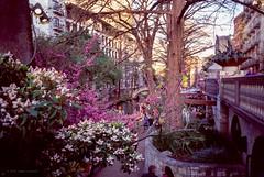 San Antonio Lush (Raphe Evanoff) Tags: flowers river walk san antonio urban landscape