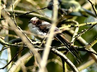 juv Long-tailed Tit 27.5