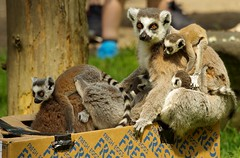 Lemurs (12) (Simon Dell Photography) Tags: lemurs playing with old box egg yorkshire wildlife park doncaster uk england spring day images high res animals zoo captive rare wild life simon dell photography tog 2018 may sunny cute babys young lots funny awesome
