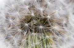 Burst (Kevin Tataryn) Tags: dandelion seeds dry weeds fluff burst nikon d500 tokina 100mm garden