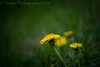 Past and Present (13skies) Tags: flowers weeds annoyance pull hate love mad yellow beautiful beauty dof depthoffield