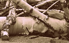 beloved forest (Kens images) Tags: trees forests decay nature wood branches park life monochrome black white future