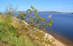 Oak shrub on the slope (МирославСтаменов) Tags: russia togliatti volga oak tree shrub slope river sprouting crown edge overlook
