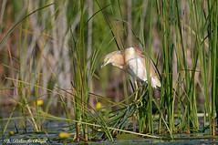 Sgarza ciuffetto _014 (Rolando CRINITI) Tags: sgarzaciuffetto uccelli uccello birds ornitologia lagomatita tulcea ultimafrontiera deltadeldanubio romania natura