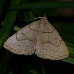 Grayish Zanclognatha thumbnail