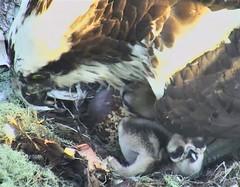 Osprey chicks at Hog Island 2018-06-03 05-21-15-308 (selro4me) Tags: ospreycams osprey raptor birdofprey fisheagle fishhawk nest eggs steve rachel island maine bailey hogisland audubon bremen usa