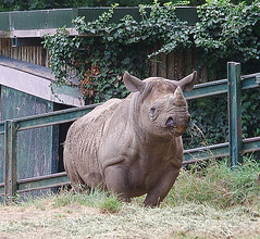 D13691.  Eastern Black Rhino. (Ron Fisher) Tags: rhino rhinoceros easternblackrhinoceros eastafricanblackrhinoceros portlympne kent animal zoo pentax pentaxkx greatbritain gb unitedkingdom uk europe