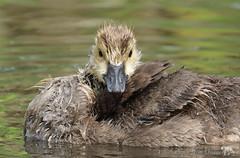 Wet & Wild (PamsWildImages) Tags: duck goose gosling bc bird britishcolumbia canada canon 1dxmarkii 100400mm nature naturephotographer wildlife wildlifephotographer pamswildimages pammullins