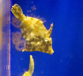 Bristletail Filefish