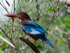 The White Throated Kingfisher (melvhsc100) Tags: whitethrottedkingfisher bird colorful nature green branches feathers kingfisher tampinesecopark park garden singaporenicescenery leaves nikon7200 tamron150600mm bluefeathers