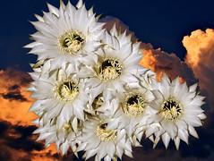 Fioritura al tramonto (gabrielecabassi) Tags: fiori colori tramonti natura nuvole