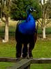 Spurs (Steve Taylor (Photography)) Tags: peacock bird blue black green fence newzealand nz southisland canterbury christchurch grass trees winter willowbankwildlifereserve spurs