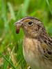 Grasshopper Sparrow (AnthonyVanSchoor) Tags: anthonyvanschoor maryland usa grasshopper sparrow