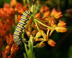 Monarch Caterpillar on Butterfly Weed (Wildphotography - Barry Rowan) Tags: animal charlotte flowersplants insect lattaplantationnaturepreserve mecklenburgcounty monarchbutterfly nature northcarolina summer wildlife