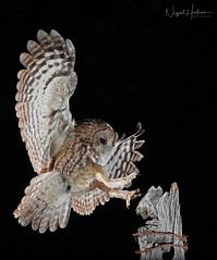 Tawny Owl (Nigel Hodson) Tags: canon 300mmf28ii 1dxmkii tawny tawnyowl owl owls wildlife wildlifephotography nature naturephotography birds birdphotography bird ianhowells