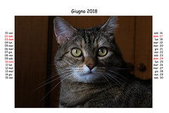 June 2018 (Alfredo Liverani) Tags: europa europe italia italy italien italie emiliaromagna romagna faenza faventia faience animal kitten gatto gatta gatti gatte cat cats chats chat katze katzen gato gatos pet pets tabby furry kitty moggy moggies gattino animale ininterni animaledomestico aliceellen alice ellen calendario calendar kalender canong5x canon g5x pointandshoot point shoot ps flickrdigital flickr digital camera cameras
