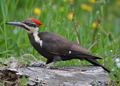 The Pileated Woodpecker Chase (DaPuglet) Tags: woodpecker woodpeckers pileatedwoodpecker bird birds animal animals nature wildlife wildbirds coth coth5 hganimalsonly ngc npc