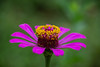 Zinnia elegans (Changer4Ever) Tags: 百日菊 zinniaelegans nikon d7200 nikkor flower plant macro closeup bokeh dof depthoffied nature color colorful sunny sunlight outdoor season 微距 花