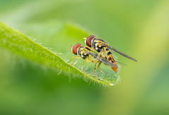 Hover Love (tkclip47) Tags: hover flies syrphid syrphidae garden flower fly nature