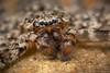 Selenopid portrait - Gorongosa National Park, Mozambique (Thomas Shahan 3) Tags: pentax gorongosa mozambique bugshot workshop africa k3 macro macrophotography vivitar 55mm teleconverter entomology arthropod wildlife