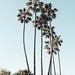 Palm Trees, Dana Point 4/22/18 #pacificcoast