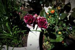 Rose flower, роза (Anna Gelashvili) Tags: цветокроза роза rose flower цветок flowers цветочки garden красныецветочки roseflower ვარდი წითელივარდი იასამნისფერიყვავილი