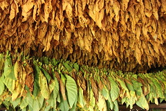 tobacco leaves drying (Jackal1) Tags: tobacco vinales cuba leafs drying green brown texture farm abstract