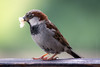Wet Sparrow (Florian Grundstein) Tags: cute bird animal close details nikon dx d7100 nikkor nature wild sparrow bayern oberpfalz heimat