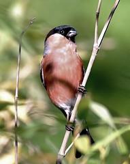 Bullfinch (Aidanos) Tags: pyrrhulapyrrhula rspbbaronshaugh bullfinch