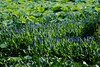 Pickerel Weed Monet Photo (Paul's Captures (paul-mashburn.artistwebsites.com)) Tags: blackberry blackeyedsusan pickerelweed monet lotus nelumbonucifera magnolia butterflyweed commondaisy