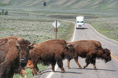 Buffalo barrage (__Thomas Tassy__) Tags: road trip buffalo bisons yellowstone national park may 2018 usa wyoming thomas tassy crossing truck landscape faune wild outstanding amazing