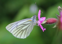 Green Veined White 240518 (2) (Richard Collier - Wildlife and Travel Photography) Tags: wildlife naturalhistory nature insects butterflies macro closeup british britishinsect coth5