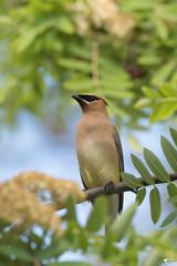 ''Chez moi!'' Jaseur d'Amérique-Cedar Waxwing (pascaleforest) Tags: oiseau bird animal passion nature nikon wild wildlife faune québec canada