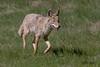 IMG_7259 coyote (starc283) Tags: starc283 wildlife flickr flicker kits canon 7d nature natures finest nebraska watcher outdoors outdoor predator prairie smug bug animal grass bear pet mammal wood coyote