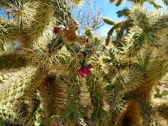 Arizona Cactus in Bloom (jeffcbowen) Tags: cactus arizona desert