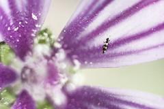 Sin título (@edu.valero (Instagram)) Tags: flor flower bicho insecto bug insect blanco morado white purple macrophotography macro macrofotografía macrofotografia