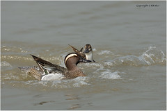 Garganey (Anas querquedula) 白眉鴨 ♂ - 210317_DSC6829nn (KK Hui) Tags: garganey anasquerquedula 白眉鴨 waterfowl duck bird