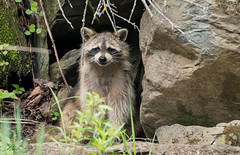 Smile for the Camera (Alexandre Légaré) Tags: wildlife animal raccoon raton laveur nikon d7500