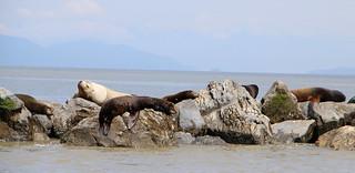 Sea Lions - Straight of Georgia, Canada