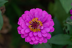 Zinnia elegans (Explored) (Changer4Ever) Tags: 百日菊 zinniaelegans d7200 nikkor flower plant macro closeup bokeh dof depthoffied nature color colorful sunny sunlight outdoor season