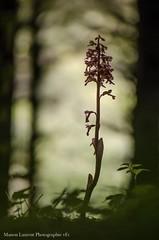 Néottie nid d'oiseau (Manonlemagnion) Tags: orchidée néottie niddoiseau fleur plante sauvage nature sousbois sombre ombres macro bokeh nikond7000 105mm28