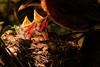 Synchronized Appetites (Goromo) Tags: americanrobin robin bird nestling feeding nest spring