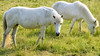 Horses (phagileo) Tags: animal horses white horse pferd cheval wildlife nature meadow sunset sigma105mm nikond3300 germany europe cheveax caballo cavalo 馬 马 mǎ uma field grass animals