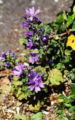 DSC_0244 (PeaTJay) Tags: nikond750 reading lowerearley berkshire macro micro closeups gardens outdoors nature flora fauna plants flowers