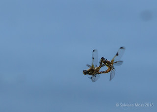 Four-spotted chaser mating