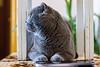 IMG_2432а (volodyainteres) Tags: cat cute scottishfold gato gatolindo kitten kitty paws кішка кіт коти кошка кот котик padegree