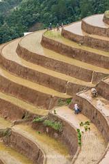 _J5K0829.0617.Lao Chải.Mù Cang Chải.Yên Bái. (hoanglongphoto) Tags: asia asian vietnam northvietnam northwestvietnam landscape scenery vietnamlandscape vietnamscenery terraces terracedfields transplantingseason sowingseeds hillside people landscapewithpeople canon canoneos1dsmarkiii hdr tâybắc yênbái mùcangchải phongcảnh ruộngbậcthang ruộngbậcthangmùcangchải mùacấy đổnước người phongcảnhcóngười sườnđồi mùcangchảimùacấy canonef70200mmf28lisiiusm ricceterracedinvietnam terracedfieldsinvietnam thehmong ngườihmông abstrat curve trừutượng đườngcong laochải