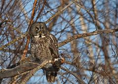 Great Gray Owl...#3 (Guy Lichter Photography - 3.9M views Thank you) Tags: owlgreatgray canon 5d3 canada manitoba hecla wildlife animal animals birds owls