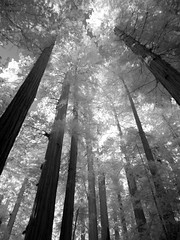 Canopy (Lisa Burke Photography) Tags: redwoods california usa blackandwhite jedediahsmithredwoodstatepark infrared trees old growth